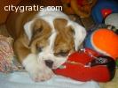 cute male and female bulldog puppies