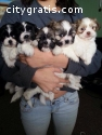 Cute  Shih Tzu  Puppies Ready Now