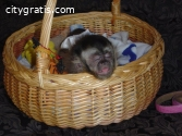 Diaper Trained Capuchin and Marmoset