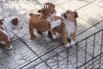 Englisg Bulldog Puppies