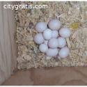 FERTILE MACAW PARROT EGGS FOR SALE