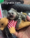 Finger Marmoset Monkeys available now .