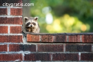 Four Seasons Wildlife Removal- Raccoon R