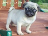Free Fawn Pug puppies for adoption