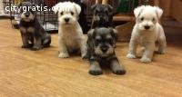 Gorgeous Miniature Schnauzer Puppies Re