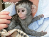 Gorgeoys Baby Capuchin Monkeys for sale