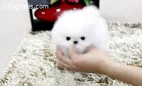 healthy teacup Pomeranian puppies for sa