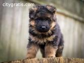 Incredibly Sweet German Shepherd Puppies