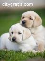 Labrador retriever Puppy for sale