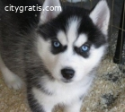 Male and Female Siberian husky Puppies f