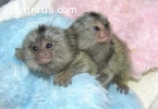 Marmoset Monkeys for sale , Finger Monke