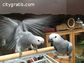 Pair of Talking congo African Grey Parro