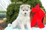 Pomsky puppies now ready for sale