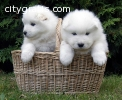 Samoyed puppies for Christmas