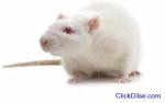 SPIRITUA Rats (Amagudwane) That Bring Mo