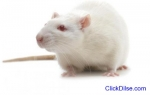Spiritual Rats (Amagudwane) That Bring M
