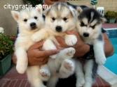 Stunning Pedigree Puppies