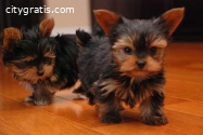 Tacup Yorkie Puppies For Sale