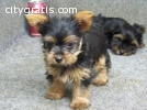 Teacup Yorkie Puppies(630) 360-9634