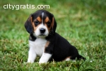 Your Lovely Beagle Puppies for sale
