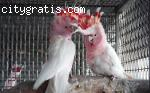 Major Mitchell cockatoo Pair for sale