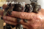 Baby marmoset monkeys for sale text (573
