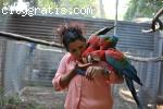 Green Wings Macaws
