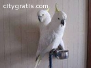 Adorable Pair of white cockatoo Parrots