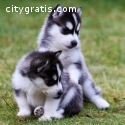 Adorable Siberian Husky Pups For Sale