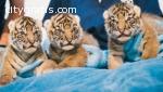 Amazing  Cheetahs ,tiger,lion and leopar