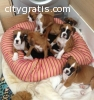 Beautiful Boxer puppies for adpotion