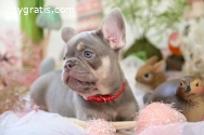 Best male and female French Bulldog pup