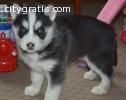Blue Eyed Siberian husky Puppy