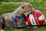 Cheetah Cubs & Lion Cubs & Tiger Cubs Av