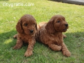 Cockapoo Pups