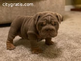 Cute male and female English Bulldog pup