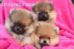 Doll faced Pomeranian Babies