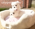 FUNNY, ACTIVE AND CLEAN MALTESE PUPPIES