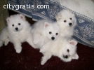 Lovely American Eskimo Puppies