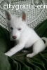 lovely siberian husky puppy for free ado