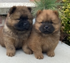 Male and Feamle Chow Chow puppies