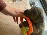 Male and Feamle Great Dane puppies
