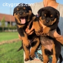Male and Feamle Rottweiler puppies