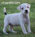 Male Jack Russell puppy for sale
