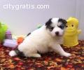 Potty trained Pomsky puppies