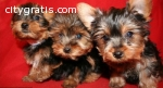 Tea Cup Yorkie puppies to good homes