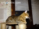 TICA registered Male And Female Bengal K
