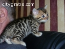 Very Lovely Bengal Kittens