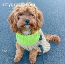well trained Cavapoo female puppy