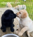 Well trained lambrador puppies